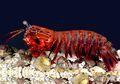 Peacock Mantis Shrimp, Udang Cantik Petinju Ulung