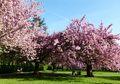 Menikmati Keindahan Bunga Sakura di Kebun Raya Cibodas Jawa Barat