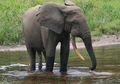 Yuk, Mengintip Cara Makan Gajah!