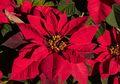 Kastuba, Si Bunga Natal