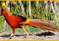 Ayam Pegar Emas, Ayam Peliharaan Para Raja