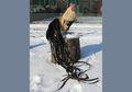 Onagadori, Ayam Berekor Panjang Kebanggaan Jepang