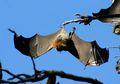 Ratusan Kelelawar di Australia Jatuh ke Tanah Karena Gelombang Panas