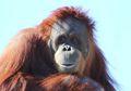 Saat Pegal, Orangutan Memakai 'Balsam' Buatan Sendiri