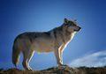 Setelah 100 Tahun, Serigala Liar Kembali ke Belgia