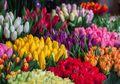 Ternyata, Bunga Tulip Bukan Berasal dari Belanda, Ayo Kita Cari Tahu Fakta Lainnya!