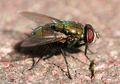 4 Rahasia Seputar Lalat yang Bisa Mengeluarkan Puluhan Ribu Telur