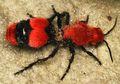 Semut Beludru, Hewan Berukuran Setengah Sentimeter yang Bisa Melumpuhkan Sapi