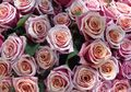 5 Fakta Bunga Mawar, Bunga Kebahagiaan Sekaligus Bunga Kesedihan