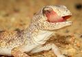 Mengenal Tokek, yuk! Reptil Unik Ini Suka Menjilat Matanya
