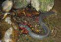 European Eel, Belut yang Suka Bermigrasi dan Dapat Hidup Selama 85 Tahun