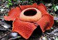 Mengenal Rafflesia, Bunga Raksasa dari Hutan Bengkulu