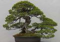 Bonsai, Pohon Mini yang Cantik