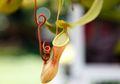 Kantong Semar, Tanaman Pemakan Hewan