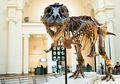 10 Fakta Tyrannosaurus Rex