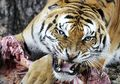 Hanya Demi Uang, Anak-anak Ini Korbankan Orangtuanya untuk Dimakan Harimau