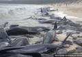 Fenomena Aneh Apa Ini? Ratusan Paus Terdampar di Pesisir Pantai Australia, Separuhnya Tewas