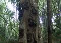 Inilah Salah Satu Pemakaman Bayi Unik yang Ditemukan di Indonesia, Bukan Dikubur di Tanah Namun di Pohon