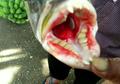 Aneh, Punya Gigi Seperti Gigi Geraham Manusia, Ikan Apakah Ini?
