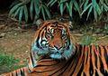 Hanya Gunakan Tongkat Kayu, Seorang Wanita Nekat Berduel Dengan Seekor Harimau