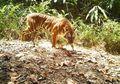 Kepadatan Populasi Harimau Sumatra yang Tak Terduga