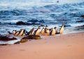 Keberadaan Penguin Terkecil di Dunia Semakin Terancam