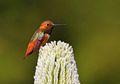 Lidah Burung Kolibri Bekerja Seperti Pompa Mikro Elastis