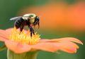 Seperti Manusia, Lebah Ternyata Bisa Stres Karena Pekerjaannya