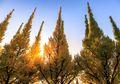 <i>Ginkgo biloba</i>, Pohon Tertua di Dunia