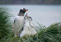 Penguin Gentoo Dinilai Punya Pendengaran yang Baik di Bawah Laut