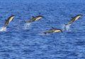 Intip Video Lumba-lumba Melahirkan di Akuarium Chicago