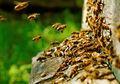 Memiliki Kepintaran, Lebah Mampu Memahami Soal Matematika Dasar