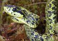 Spesies Ular Berbisa Baru Ditemukan di Kosta Rika