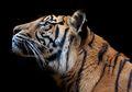 Harimau-harimau yang Masih Bertahan Hidup di Bumi