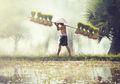 Padi Mutasi Nuklir Sulawesi Utara Disebut Sebagai Padi Terbaik. Apa Sebabnya?