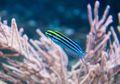 Racun Ikan Fangblenny Berpotensi Jadi Obat Anti Nyeri