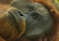 Fakta-Fakta Ini Bikin Kita Prihatin Pada Nasib Orangutan Tapanuli