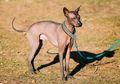 Xoloitzcuintli, Anjing Sahabat Bangsa Aztek dan Maya