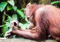 Akibat Penebangan dan Perburuan, 100 Ribu Orangutan Kalimantan Punah