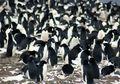 Koloni Super Penguin Adelie Ditemukan di Antartika