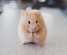 Ingin Memelihara Hamster? Lihat Dulu Fakta Uniknya