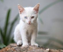 Unik! Odd Eye Cat, Kucing dengan Warna Bola Mata yang Berbeda!