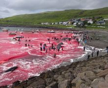 Lautan Dipenuhi Darah Merah, Kala Ratusan Paus 'Dibantai' di Pulau Faroe Setiap Tahunnya