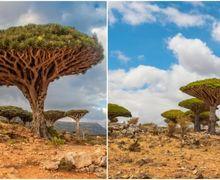 Pulau Socotra, Pulau Terasing di Bumi yang Punya Pohon Bisa Mengeluarkan 'Darah Naga' saat Digores