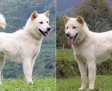Yuk, Mengenal Kintamani, Jenis Anjing Asli Bali Mirip Siberian Husky