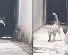 (Video) Kerennya Aksi Seekor Kucing Lewati 3 Kucing 'Preman' yang Menghadang Jalannya