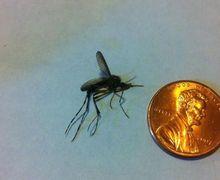 Nyamuk Raksasa Seukuran Koin Serbu Amerika dalam Jumlah Besar, Berbahayakah?