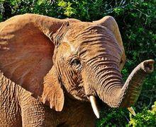 Kulit Gajah Asia dan Gajah Afrika Berbeda, lo! Mengapa Begitu?
