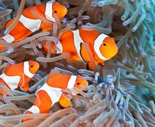 Alasan di Balik Tiga Garis yang Dimiliki Nemo Si Ikan Badut