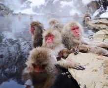 Viral, Video Monyet Salju Jepang Melakukan 'Akrobat' di Kabel Listrik